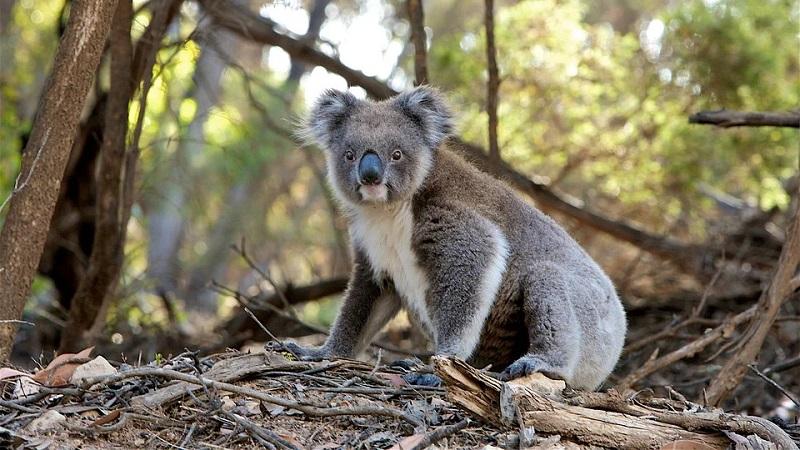 Usando drones e análises de cocôs, Austrália fará censo nacional para contar população de coalas