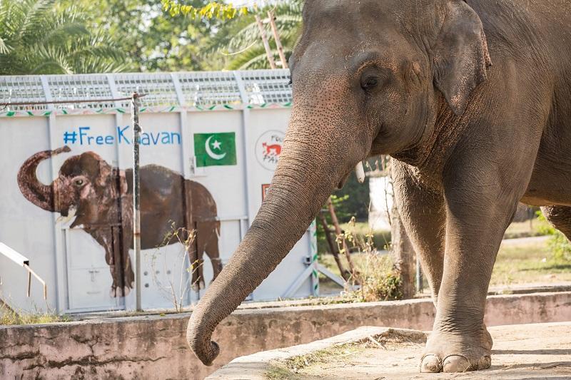 Após 35 anos em cativeiro e oito vivendo sozinho, elefante é levado de zoológico no Paquistão para santuário de vida selvagem no Camboja