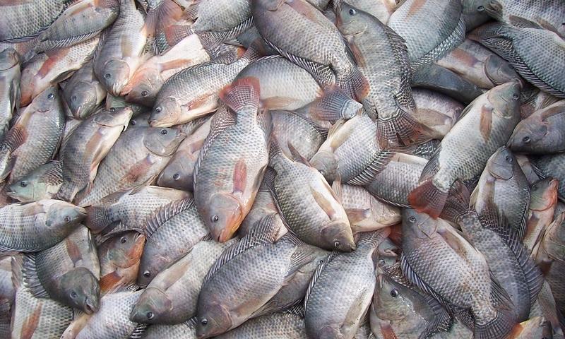 """Governo exclui Ibama de processos para permissão de criação de peixes em """"corpos d'água da União"""""""