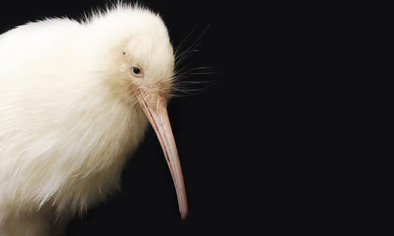 Neozelandeses lamentam morte de raríssimo kiwi branco, ave símbolo do país