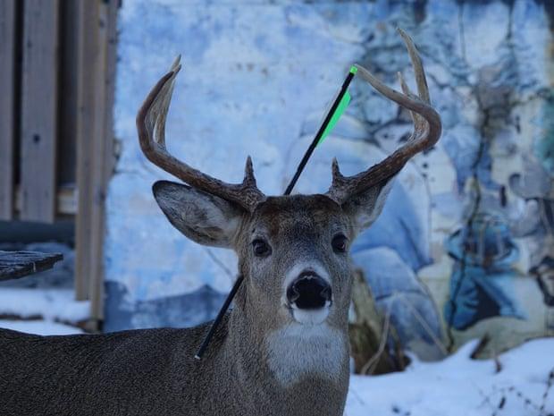 Encontrado com flecha na cabeça, veado no Canadá passa por cirurgia de risco, mas surpreende a todos com sua recuperação