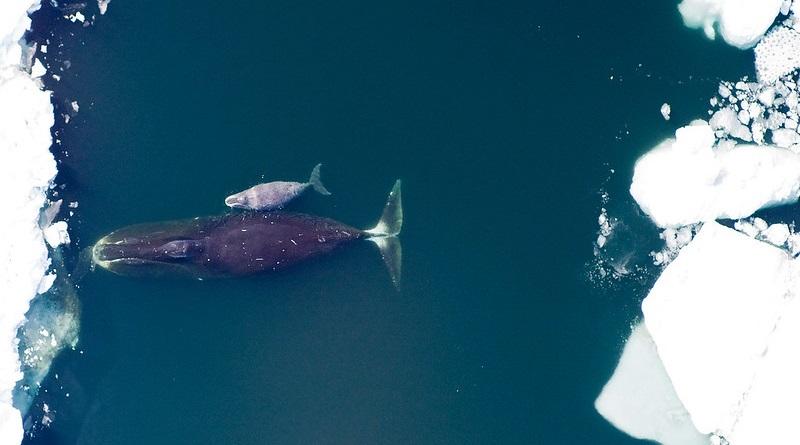 Aumento da população da única espécie de baleia natural do Ártico anima biólogos