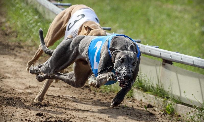 Defensores dos direitos animais lutam pela proibição das corridas de cachorros galgos no Brasil
