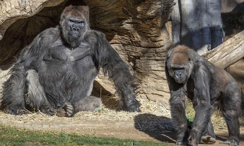 Gorilas de zoológico de San Diego testam positivo para o coronavírus