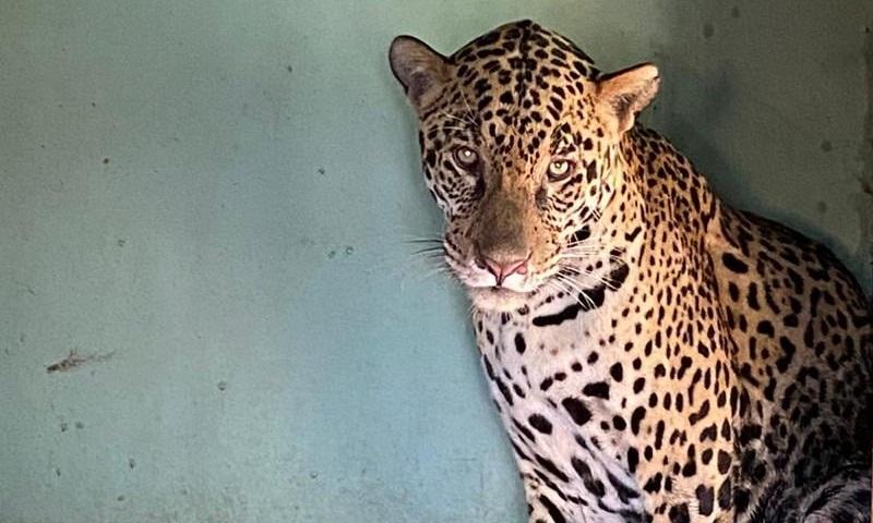 Joujou, onça resgatada do incêndio na Serra do Amolar, no Pantanal, volta à natureza