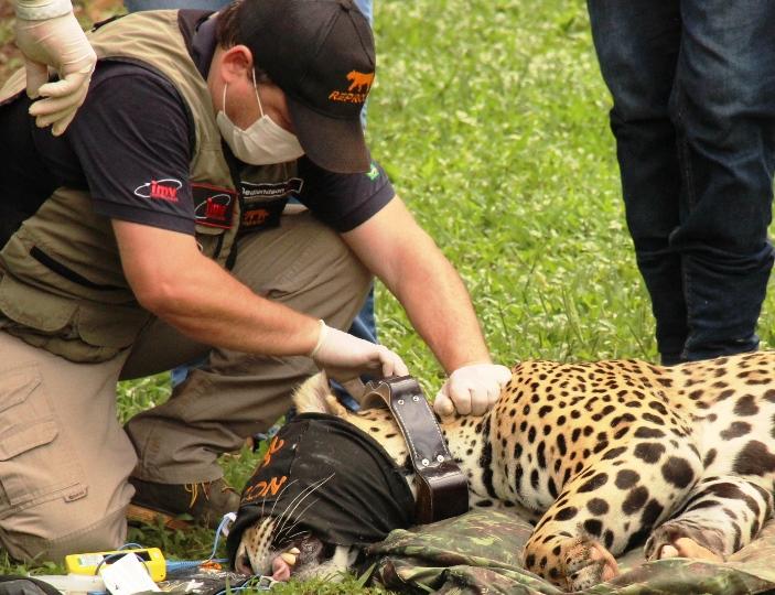Joujou, onça-pintada resgatada em um dos incêndios no Pantanal, volta à natureza