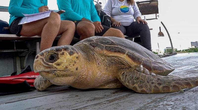 Após dois meses de tratamento, tartaruga resgatada próximo às Ilhas Cagarras, no Rio de Janeiro, volta ao mar