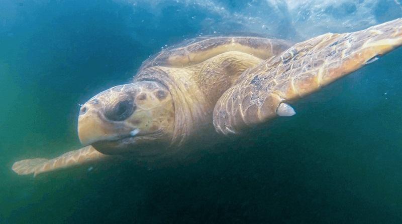 Após dois meses de tratamento, tartaruga-cabeçuda volta ao mar próximo às Ilhas Cagarras, no Rio de Janeiro