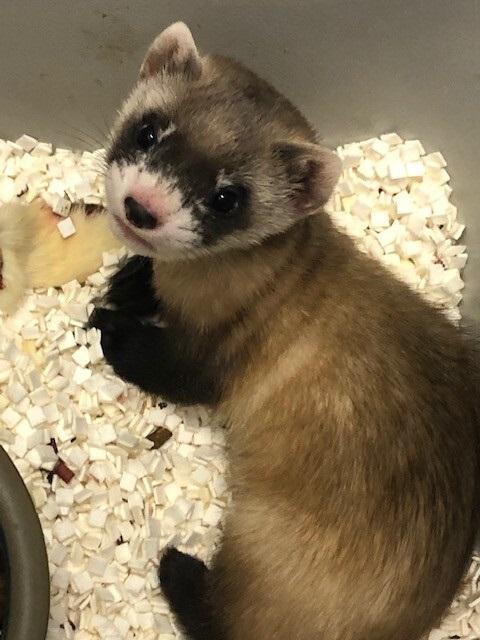 Nasce primeiro filhote clonado de furão de espécie ameaçada de extinção