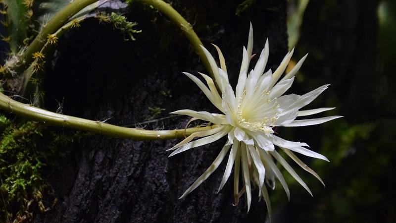Mais de 200 mil pessoas assistem live com desabrochar da rara flor da lua amazônica, que só acontece uma vez por ano, por poucas horas