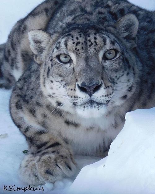 Morre fêmea de leopardo-das-neves, que com seus sete filhotes, trouxe esperança para sobrevivência de espécie tão ameaçada