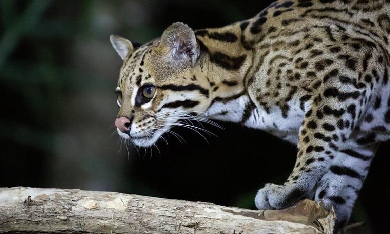 Anta e jaguatirica podem entrar em lista de espécies com criação em cativeiro e comércio permitidos pelo governo