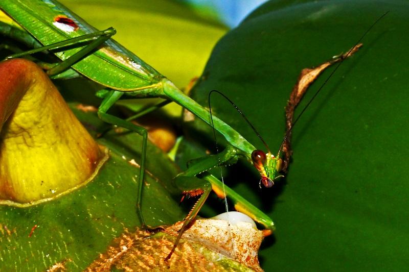 Brasileiros fazem registro, inédito no mundo, de louva-a-deus se alimentando de látex do mamão