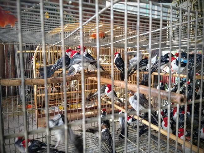 Mais de mil pássaros criados ilegalmente são apreendidos em Goiás e Minas Gerais e dezenas estavam mortos