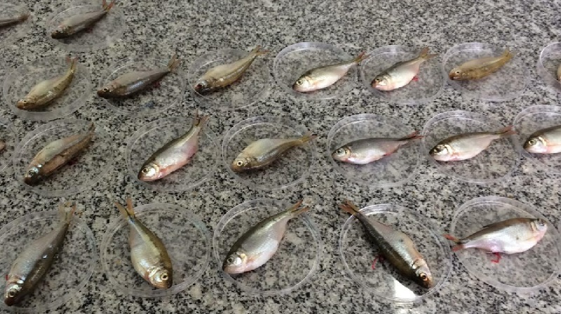 Peixes em barragem no Paraná apresentam contaminação por metais pesados e agrotóxicos já banidos no país