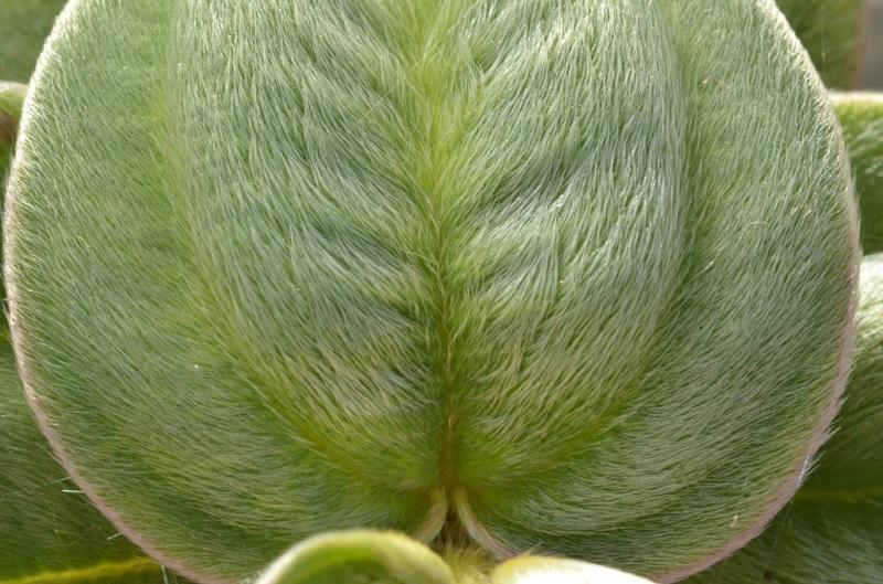 Considerada extinta há quase 40 anos, planta é redescoberta em Parque Estadual de Cabo Frio, no Rio de Janeiro