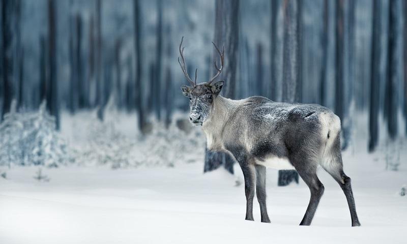 Suécia vai construir viadutos para a travessia de renas