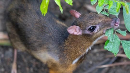 Biólogos celebram nascimento de filhote de espécie raríssima: o menor veado do mundo