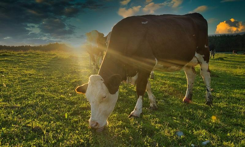Adição de algas à ração do gado diminui emissão de metano, gás associado ao aquecimento global