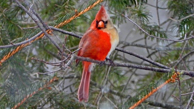 Pássaro 'metade-macho, metade-fêmea' é fotografado nos Estados Unidos
