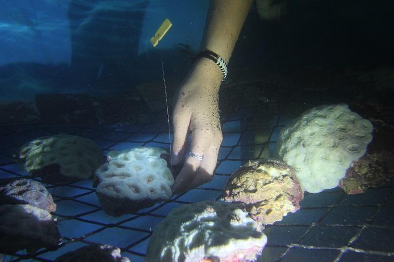 Cientistas brasileiros fazem registro inédito no mundo de reprodução de corais após branqueamento