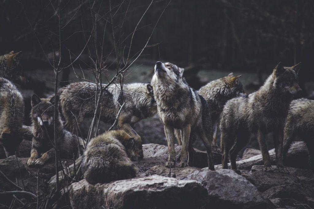 Em menos de três dias, mais de 200 lobos são mortos por caçadores no estado de Wisconsin, nos Estados Unidos