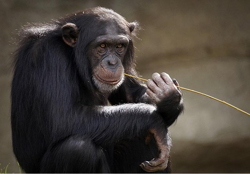 Orangotangos e bonobos recebem vacina contra a Covid no zoológico americano de San Diego
