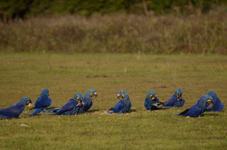 Pesquisadoras brasileiras alertam sobre morte de araras-azuis envenenadas com pesticidas