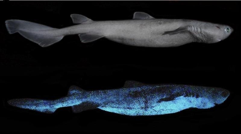 Cientistas fazem registro inédito de bioluminescência em tubarão: o maior vertebrado a brilhar no planeta