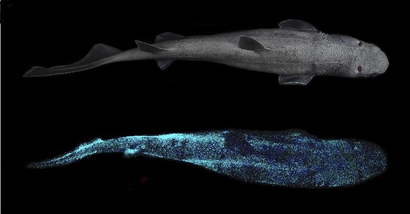 Cientistas fazem registro inédito de bioluminescência em tubarão: o maior vertebrado que brilha no planeta