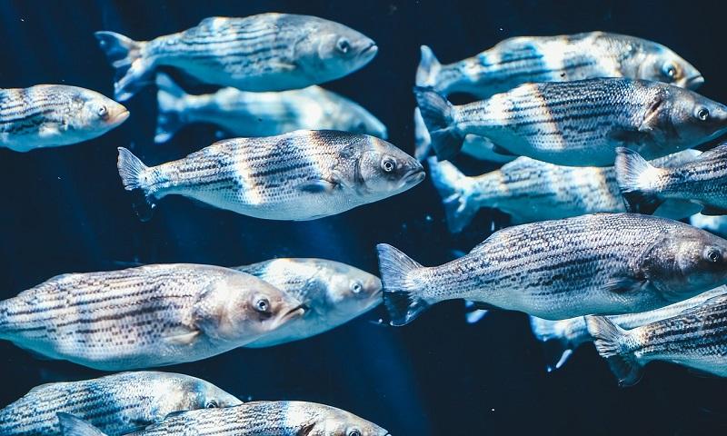 Peixes ganham ajuda de moradores e campainha para cruzar canais de cidade na Holanda