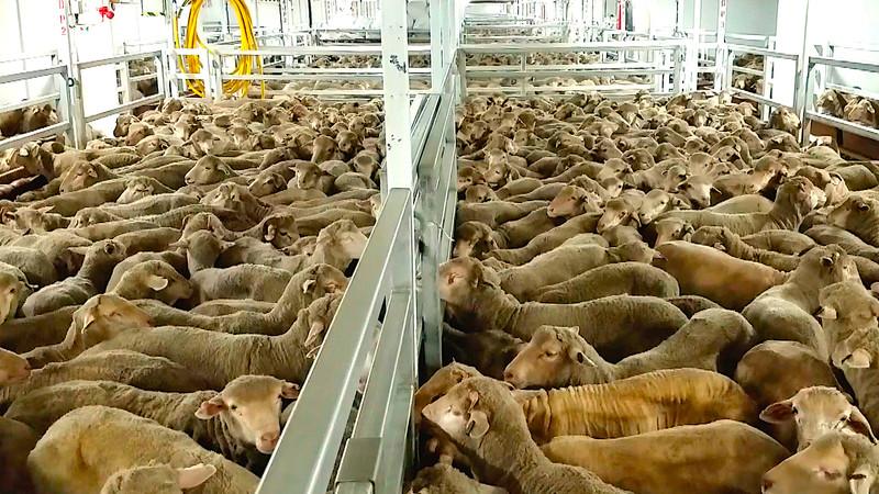 Apesar de liberação do Canal de Suez, 200 mil animais podem morrer de fome e sede dentro de navios