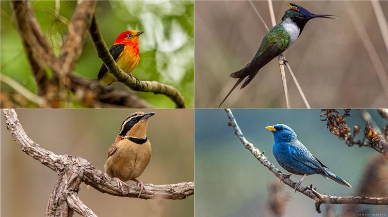 Guia de bolso apresenta a beleza e a diversidade das aves do Cerrado