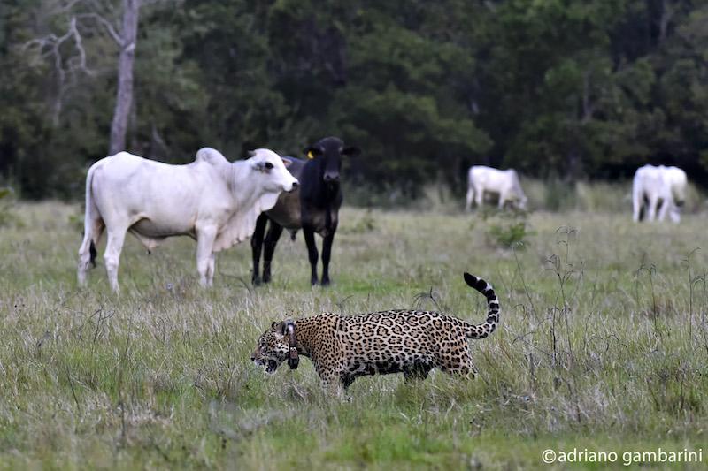 Isa e Fera aprenderam a ser selvagens