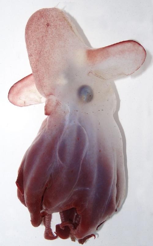 Cientistas descobrem nova espécie de polvo dumbo e com tecnologia que permitiu devolvê-la ao mar