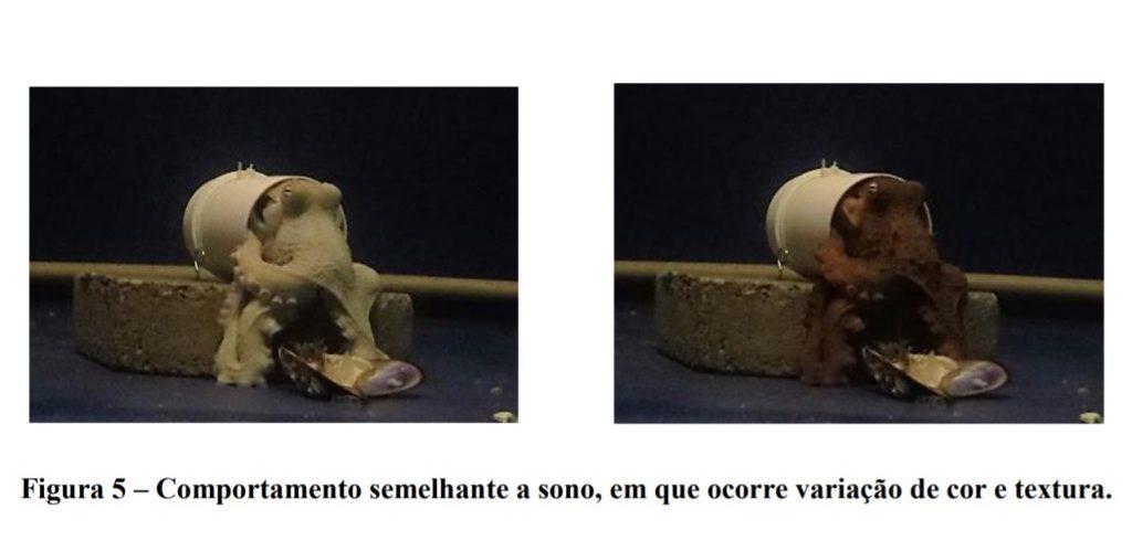 Pesquisa de cientistas brasileiros comprova que polvos apresentam duas fases de sono. Será que também sonham?