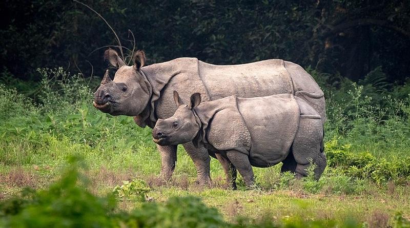 Nepal comemora aumento recorde da população de rinocerontes