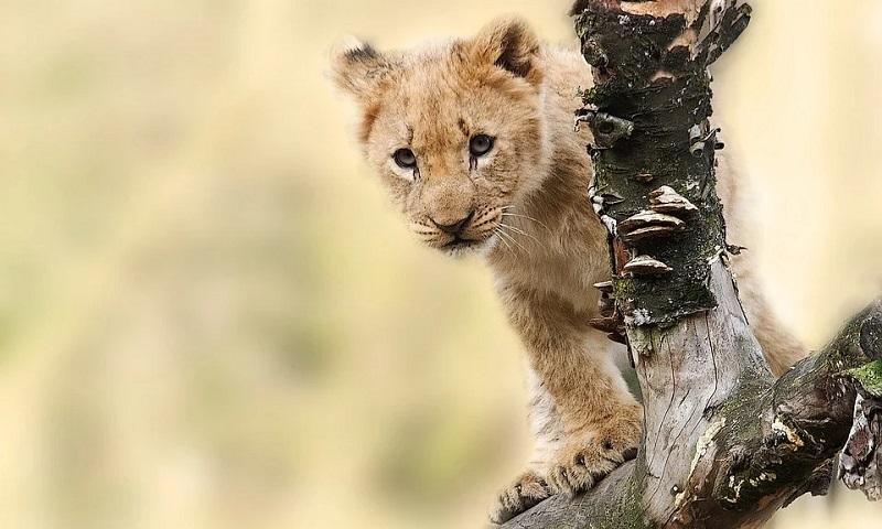 África do Sul irá proibir criação de leões em cativeiro e turismo que envolva interação próxima com esses animais