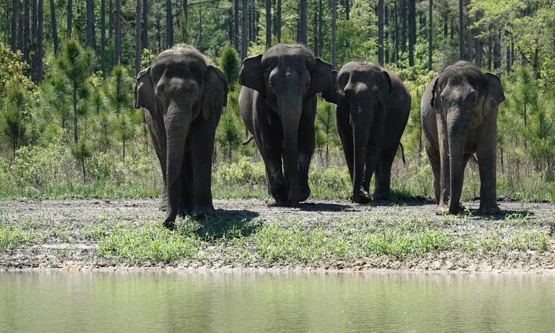 Após anos em circos, mais de 30 elefantes ganham novo lar em santuário de vida selvagem na Flórida
