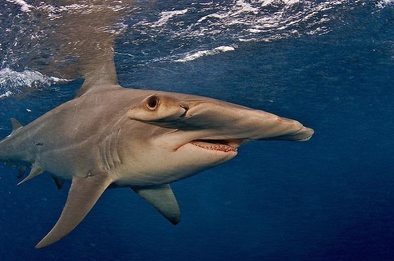 Espécie rara de tubarão-martelo, em risco de extinção, é avistada no litoral da Paraíba