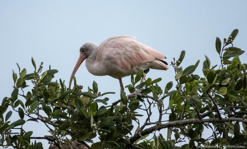 Após dois anos, pesquisadores fazem novo registro de um guará branco, ave raríssima, com mutação genética