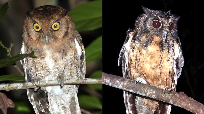Novas espécies de corujas minúsculas são descobertas na Amazônia e na Mata Atlântica e já estão em risco de extinção