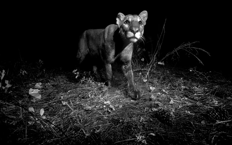 Flórida investirá U$ 400 milhões em corredores de vida selvagem para proteger animais em risco de extinção, como a pantera