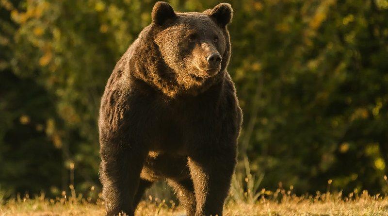 Princípe de Liechtenstein é acusado de matar o maior e mais velho urso da Romênia e possivelmente, da Europa