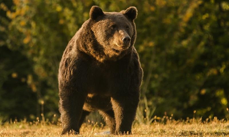 Princípe austríaco é acusado de matar o maior e mais velho urso da Romênia e possivelmente, da Europa
