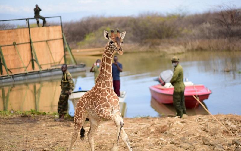 Termina com sucesso operação de resgate de girafas em ilha prester a desaparecer no Quênia