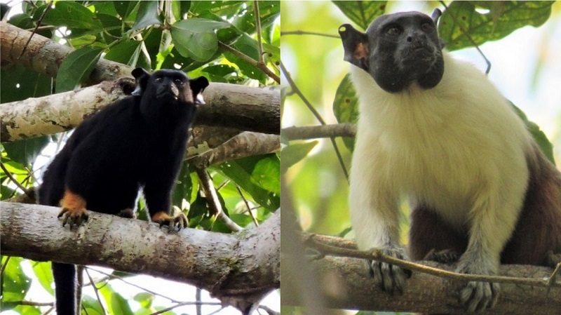 Em estudo inédito no mundo, brasileiros descobrem que macaco da Amazônia muda vocalização para interagir com outra espécie