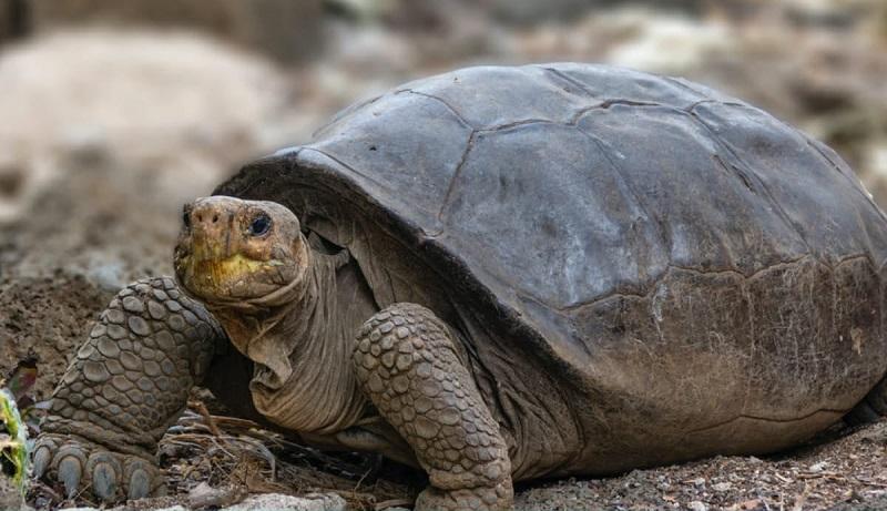 Confirmado: tartaruga gigante encontrada em Galápagos é mesmo de espécie que acreditava-se extinta há 100 anos!