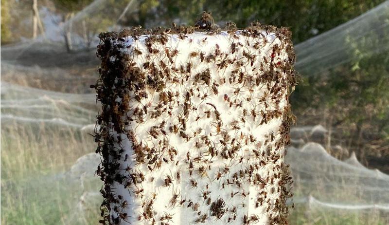 Após tempestade e inundações, aranhas tecem teias gigantes que cobrem a paisagem de Glisspand, na Austrália