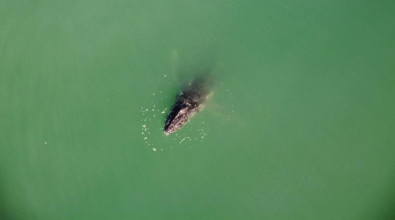 Em poucos dias, quatro baleias jubarte apareceram presas em redes de pesca em Santa Catarina. Duas morreram